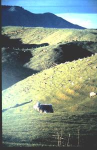 羊、牧草地